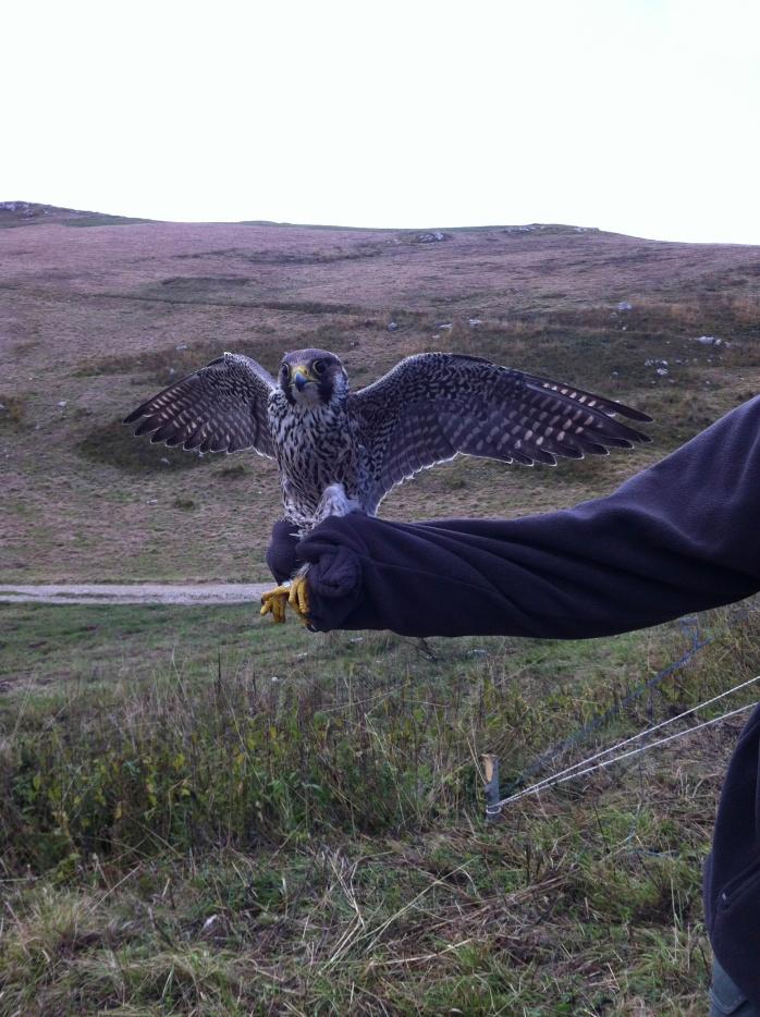 Falco pellegrino (Falco peregrinus)